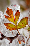 Frozen leaf. In autumn after ice rain Stock Images