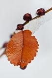 Frozen leaf. And berries in winter Stock Photos