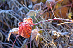 Frozen leaf of blackberrie plant, selective focus Stock Photography