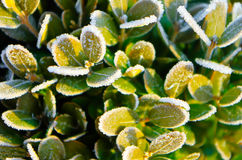 Frozen leaf. Boxwood in winter Stock Photography