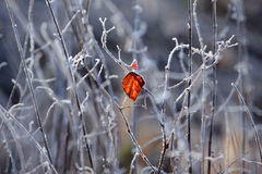 A frozen leaf. A colorful leaf on a cold winter morning royalty free stock images