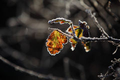 A frozen leaf. A colorful leaf in front of dark background royalty free stock photography