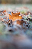 Frozen Leaf. A frostbitten leaf left over from fall. Winter is here Royalty Free Stock Images