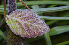 Frozen leaf Royalty Free Stock Image