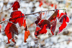 Frozen Leaf On Tree Branch Royalty Free Stock Photo