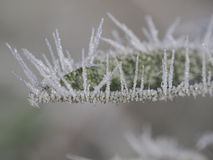 Frozen leaf of salvia Stock Photography