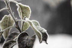 Frozen Leaf. Tree Leaves covered with ice crystal after sudden frost royalty free stock photo