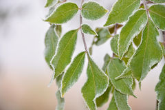Frozen leafes in autumnal November Royalty Free Stock Photos