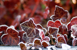 Free Frozen Leafs Royalty Free Stock Photography - 7691687
