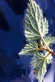 Frozen leafs. Frozen piece of nettle on the freezing morning Stock Images
