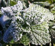 Frozen leafs. Frozen piece of nettle on the freezing morning Royalty Free Stock Photo
