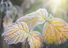 Frozen leafs of plant Stock Images