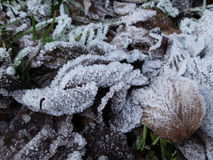 Frozen leafs in snow Royalty Free Stock Photo