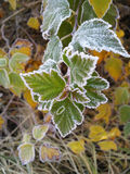 Frozen leaves. Stock Photography