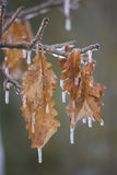 Frozen leaves. Tree leaves covered in ice and icicles following a winter storm stock image