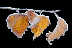 Frozen leaves Royalty Free Stock Photos