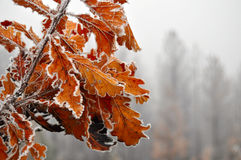Frozen leaves Royalty Free Stock Photo