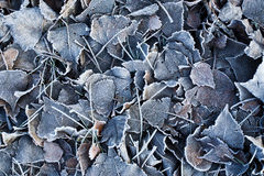 Frozen leaves Stock Image