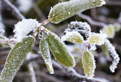 Frozen leaves Royalty Free Stock Photography