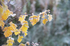 Frozen leaves. Autumn frozen leaves close up Stock Photography