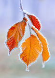 Frozen leaves. Stock Photo