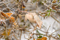 Frozen leaves background. Leaves covered with hoarfrost on a bush. Frozen leaves background Stock Image