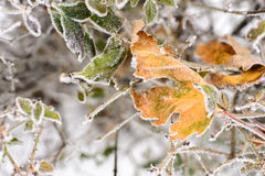 Frozen leaves background. Leaves covered with hoarfrost on a bush. Frozen leaves background Royalty Free Stock Photos