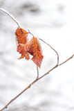 Frozen leaves background. Orange leaves on a branch covered with hoarfrost Royalty Free Stock Image
