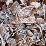 Frozen leaves. Beautiful winter nature background. Stock Image