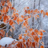 Frozen leaves on the beech branch royalty free stock image