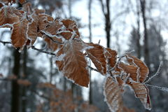 Frozen leaves of the beech. Right before night time royalty free stock photography