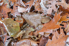 Frozen leaves covered with hoarfrost Stock Images