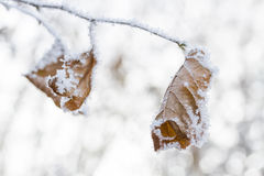 Frozen leaves covered with hoarfrost Stock Photos