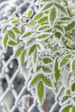 Frozen leaves covered with hoarfrost Stock Image