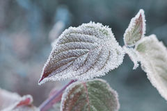 Frozen leaves covered with hoarfrost of winter morning, macro nature background Stock Image