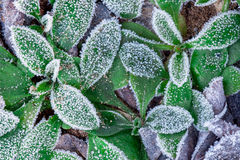 Frozen leaves. December frozen leaves on the field ground Royalty Free Stock Photo