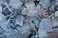 Frozen leaves. December frozen leaves on the field ground Stock Photo