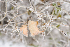 Frozen leaves. Dry leaf covered with frost on the bush Royalty Free Stock Photography