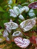 Frozen leaves Royalty Free Stock Image
