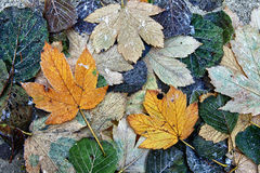 Frozen leaves on the floor Stock Photography