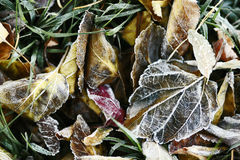Frozen leaves and grass Royalty Free Stock Image