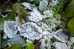 Frozen leaves. Greeen leaves in the winter. The first frost Royalty Free Stock Photography