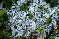 Frozen leaves. Greeen leaves in the winter. The first frost Stock Photo