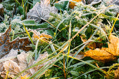 Frozen leaves and green grass, natural background Royalty Free Stock Photography
