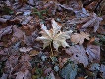 Frozen leaves in hoar Royalty Free Stock Image