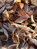 Frozen  leaves ,r Stock Photography