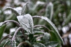 Frozen leaves of sage (salvia, Folium Salviae) with frozen drop of water. Hoarfrost is visibleon every leaf, frozen dew drop is on the front leaf stock photography
