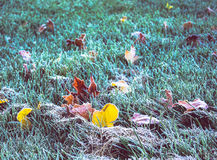 Frozen leaves. These leaves sprinkle my ground when the trees lose their leaves stock photo