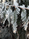 Frozen leaves of thuja. Some leaves of thuja covered with ice Stock Images