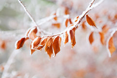 Frozen leaves under the frost Stock Photos